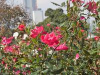 薔薇巡り - のんびり行こうよ人生!