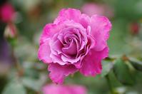 横浜イングリッシュガーデン薔薇4 - 生きる。撮る。