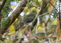 アオバト - 可愛い野鳥たち 2