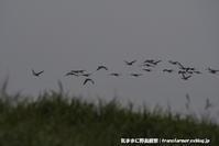 今日のヒシクイ - 気ままに野鳥観察