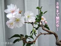 植木鉢ジプシー - サモエド クローカのお気楽日記