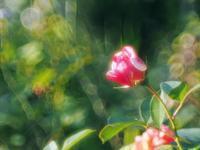 近所の相場薔薇園2 - 光の音色を聞きながら Ⅳ