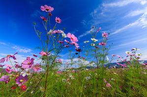 コスモス揺れる(亀岡・夢コスモス園) - 花景色-K.W.C. PhotoBlog