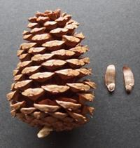 #松ぼっくり #球果 #種子 『テーダマツ』 Pinus taeda - 自然感察 *nature feeling*
