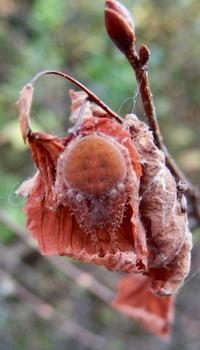 #保護色 『焦茶鬼蜘蛛』 Neoscona punctigera - 自然感察 *nature feeling*