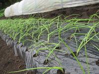 小雨の中玉ねぎ苗を植え付け - 畑へ行こう♪