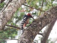 戸隠のオオアカゲラ再び - コーヒー党の野鳥と自然 パート2