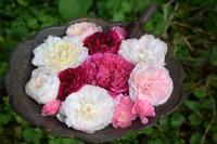 今後のバラ講座&イベントの予定 - 元木はるみのバラとハーブのある暮らし・Salon de Roses