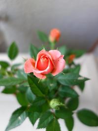 文化祭日和です★薔薇★照明器具★リース★ストラップ - 月夜飛行船