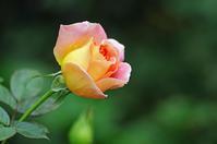 横浜イングリッシュガーデン薔薇5 - 生きる。撮る。