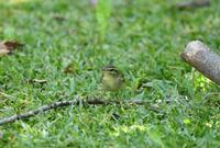 ムシクイ特集 - zorbaの野鳥写真と日記