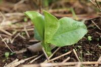 立冬が過ぎました。:秋野菜がすくすく育っています。 - 週刊「目指せ自然農で自給自足」