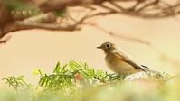 ルリビタキ - 北の野鳥たち