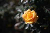 Autumn Rose - HAPPY to ...