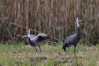ナベヅルの飛び出し - 野鳥フレンド  撮り日記