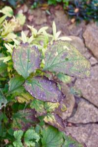 カラーリーフの紅葉 - 小さな庭 2