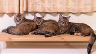 麦ニャンズの猫電車 - 猫と夕焼け