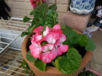 庭の花 - ひめたんママちゃんのブログ