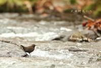 カワガラス - 北の野鳥たち