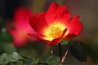 秋バラを撮る - miyabine's フォト日記2~身の周りのきれい・可愛い・面白い~