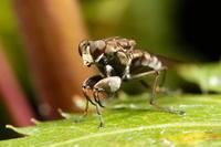 カマバエ - Insect walk