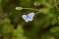 ヤマトシジミ11月11日 - 超蝶