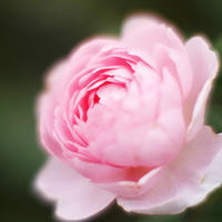 秋の横浜散歩港の丘で秋の薔薇 - スナップ寅さんの「日々是口実」