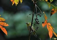 メジロさんと紅葉と実と・・・ - ベジタブルpartⅤ(鳥と共に日々是好日)