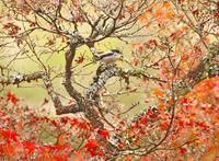 紅葉の季節… - ゆるゆる野鳥観察日記