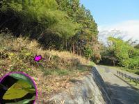 越冬中キタキチョウ - 秩父の蝶