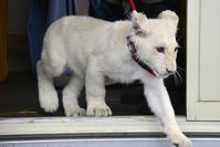 2018.11.10 東北サファリパーク☆ホワイトライオンのリズムちゃん【White lion baby】 - 青空に浮かぶ月を眺めながら