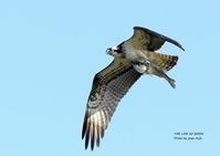獲物は、スズキのようでした。 - THE LIFE OF BIRDS ー 野鳥つれづれ記