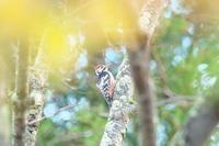 朝のオオアカゲラ - ひとり野鳥の会