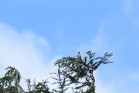 イカル11月11日 - 旧サンヨン野鳥撮影放浪記