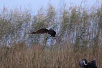 ナベヅル - 野鳥フレンド  撮り日記