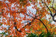 散歩道にも紅葉が目立ち始めた - 彩りの軌跡