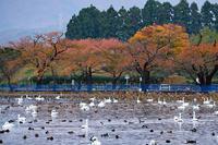 白鳥(瓢湖) - くろちゃんの写真