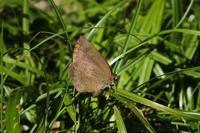 ■晩秋の蝶 3種18.11.12(ムラサキシジミ、ツマグロヒョウモン、キタテハ) - 舞岡公園の自然2