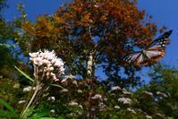 紅葉とアサギマダラByヒナ - 仲良し夫婦DE生き物ブログ