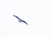 渡良瀬川を飛ぶミサゴ - コーヒー党の野鳥と自然 パート2