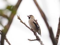 谷中村役場跡のシメ - コーヒー党の野鳥と自然 パート2