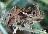ミツモンキンウワバ Ctenoplusia agnata - 写ればおっけー。コンデジで虫写真