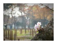 11月に十月桜を観る - あおいそらそよぐかぜ