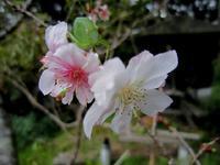 再登場の「十月桜」! - 心紋様