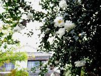 山茶花 - 商家の風ブログ