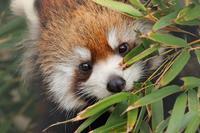 6月28日に生まれたレッサーパンダの赤ちゃんは、名前を募集中(市川市動植物園) - 旅プラスの日記