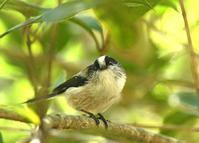 エナガ集 - zorbaの野鳥写真と日記