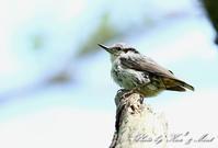 ⑲北の大地網走湖で会えた「ゴジュウカラ」さん達♪-在庫からー - ケンケン&ミントの鳥撮りLifeⅡ
