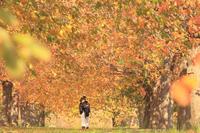 小布施町千曲川沿いの桜堤の秋 - 野沢温泉とその周辺いろいろ2