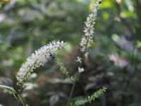 サラシナショウマ - 鹿深の森